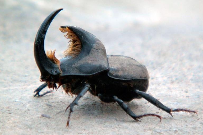 Estoico, el macho del escarabajo rinoceronte va en busca de una compañera y nada parece detenerlo