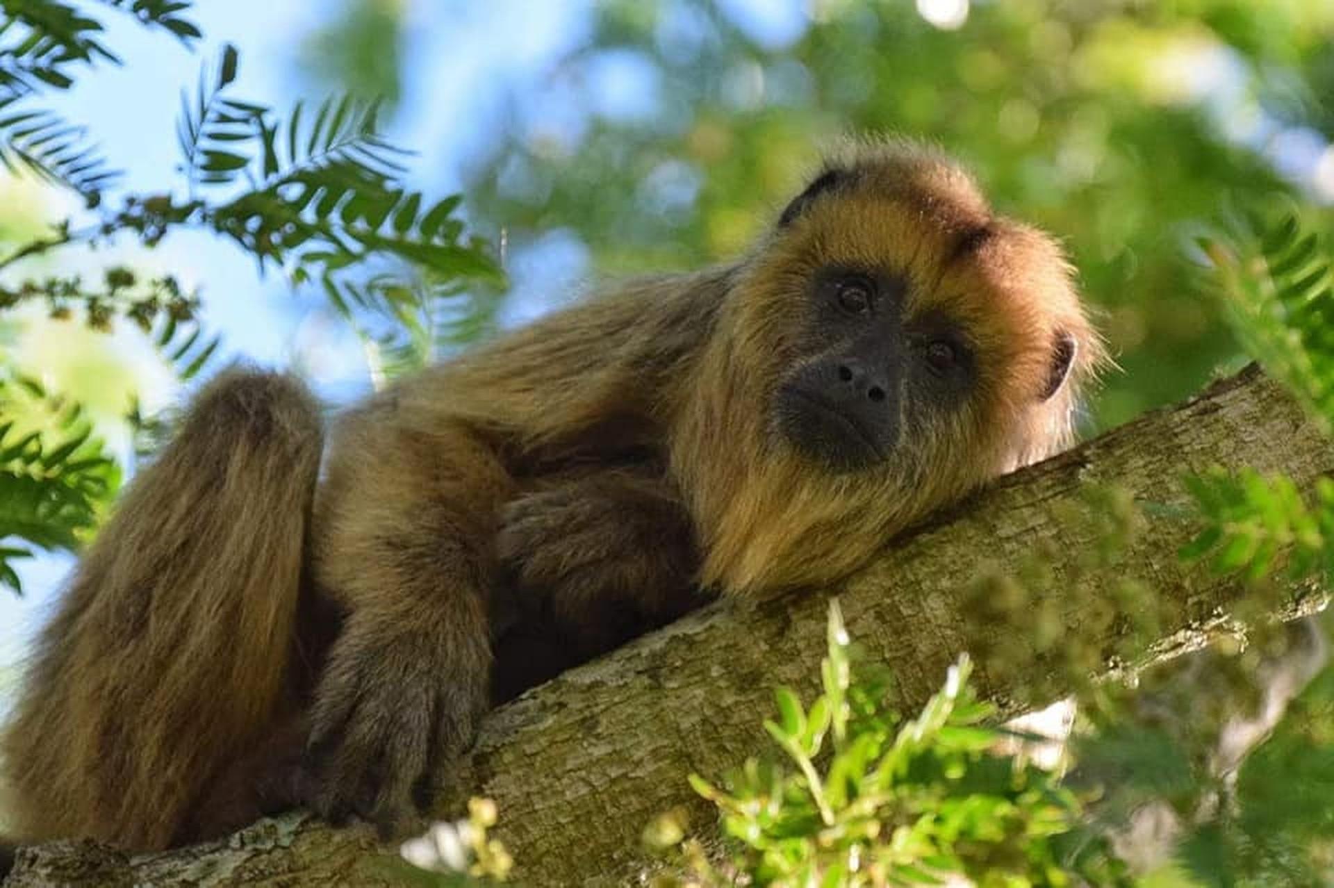 Las colonias de monos son uno de los principales atractivos del humedal junto al que se encuentra la localidad de Villa Ocampo.