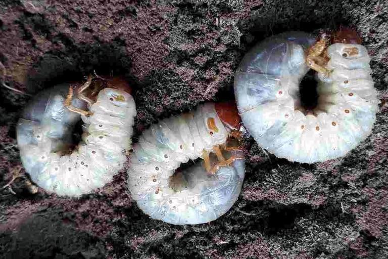 Su estado larvario es casi tan popular como su fase cascaruda, y aun cuando a los humanos desprevenidos les resulte difícil vincular al gusano blanco que vive bajo tierra con el auténtico cascarudo veraniego argentino, la realidad es que son el mismo insecto atravesando estadios diferentes